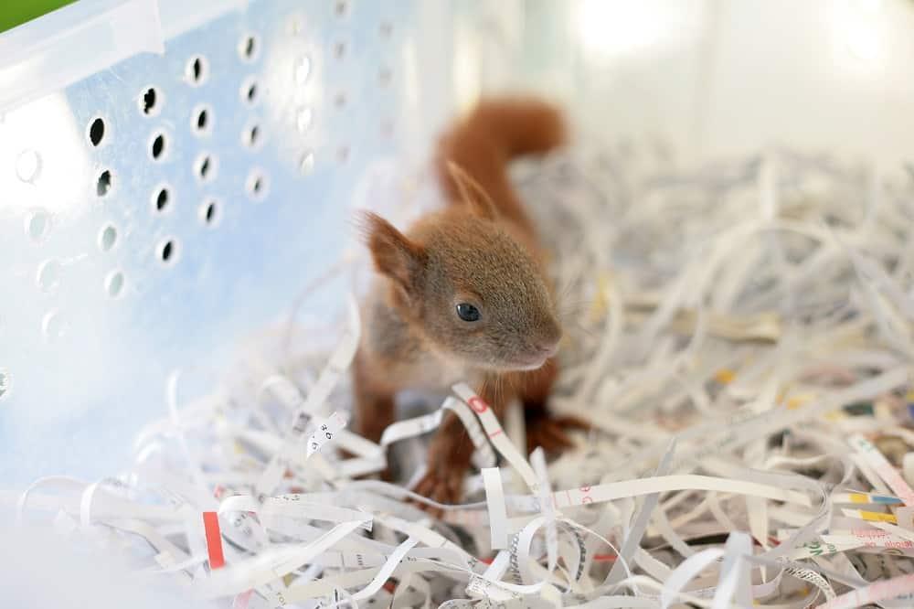 rescued baby squirrel